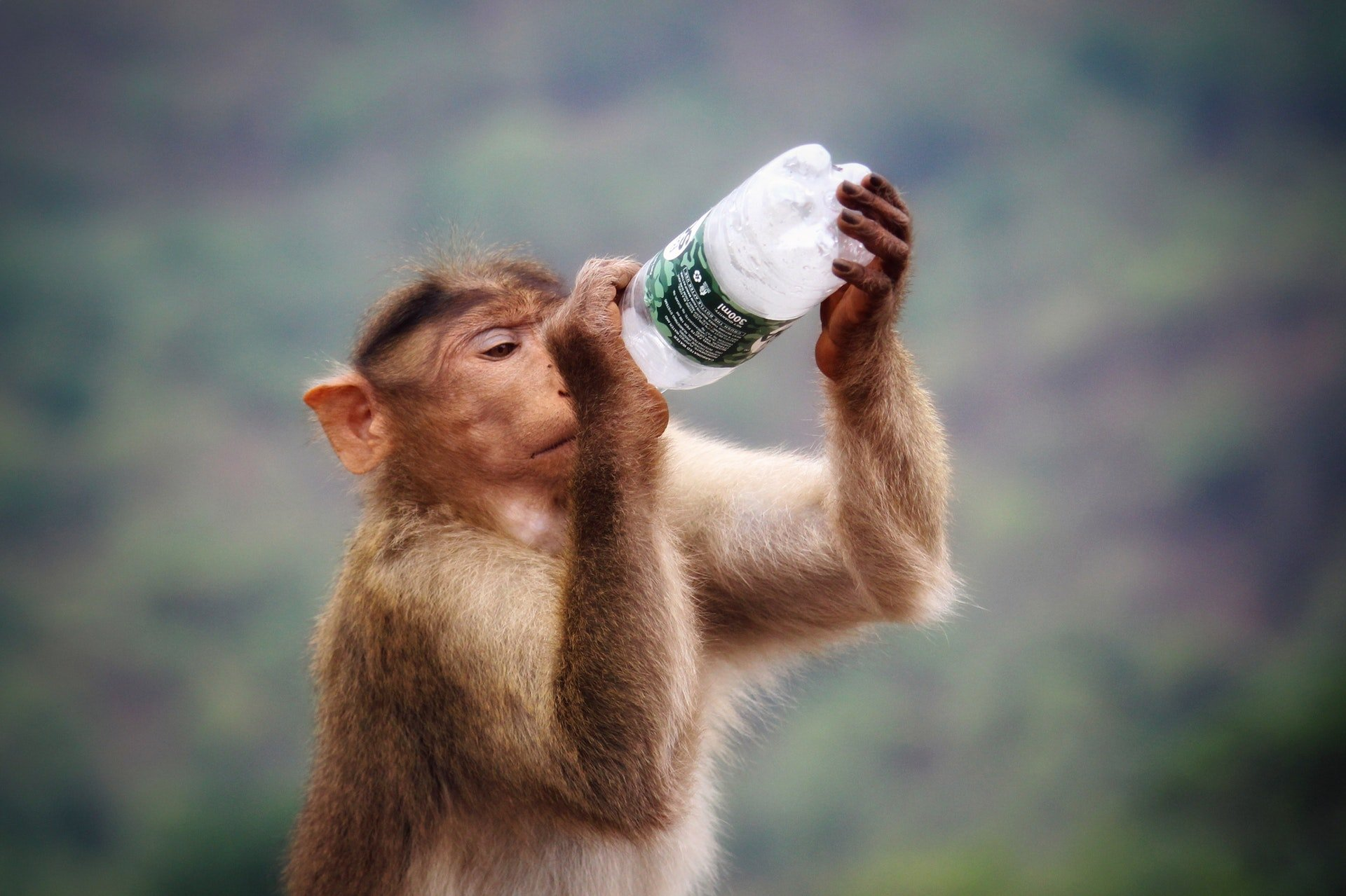 monkey primate holding clear and black labeled bottle water 塑膠瓶裝水置於高溫車廂會溶出塑化劑危害健康?