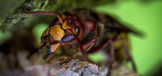 Hornet Bee Wild Bugs Macro 水煙式除蟲劑的使用「後」安全注意事項?